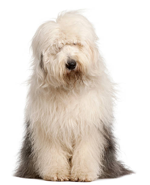 Old English Sheepdog, 2 and a half years old, sitting Old English Sheepdog, 2 and a half years old, sitting in front of white background sheepdog stock pictures, royalty-free photos & images