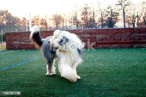 Old English sheepdog on green grass