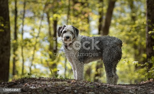 Old English Sheepdog on walk in the woods waiting patiently for owner to catch up
