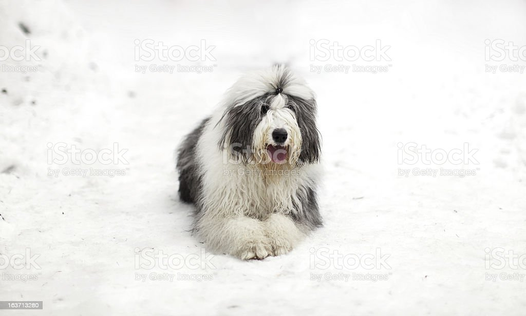 Old english sheepdog or bobtail sitting on the snow stock photo
