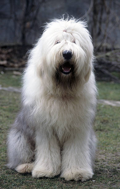 Old english sheepdog What's up? sheepdog stock pictures, royalty-free photos & images