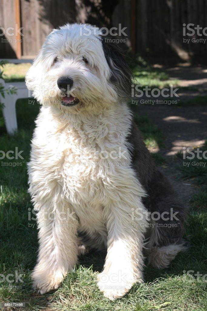 Old English Sheepdog royalty-free 스톡 사진