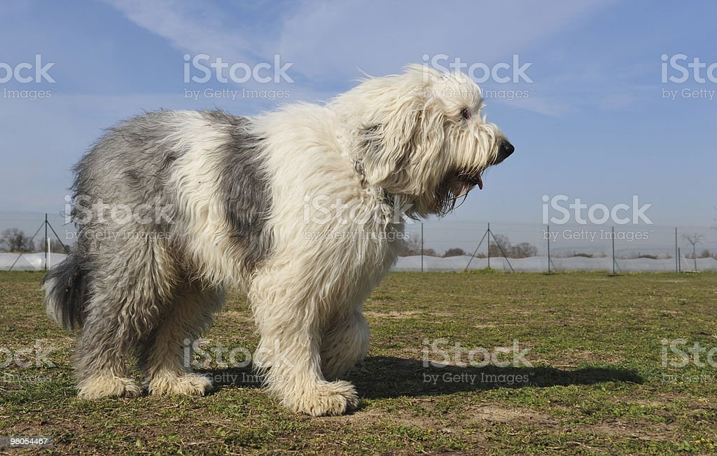 Old English Sheepdog royalty-free stock photo