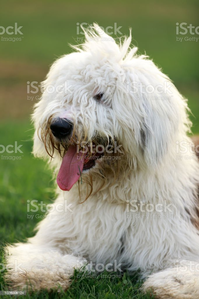 Old English Sheepdog Portrait. stock photo