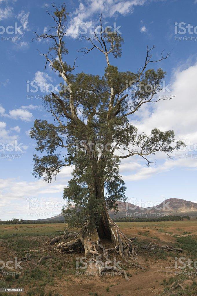Old Eucalyptus Tree, Flinders Ranges, Australia stock photo