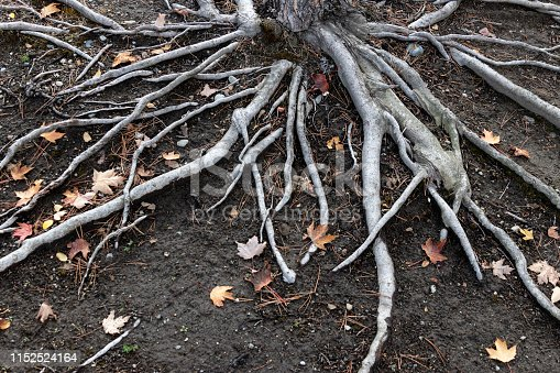 Old exposed tree roots on dirt with fallen leaves