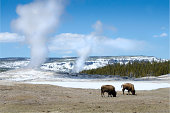 Old Faithful Geyser - Yellowstone National ParkBisons Grazing in the foreground.