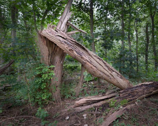 Alt gestürzter verrotteter Baum – Foto