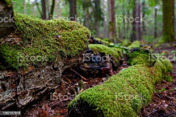 Photo of old fallen tree trunk covered in green moss