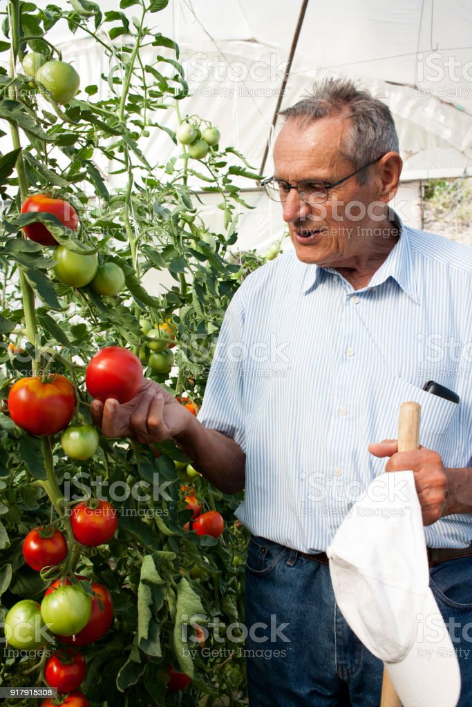 Old farm revise the vegetables in greenhouse stock photo
