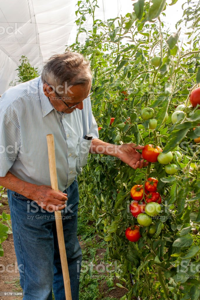 Old farm worker harvesting tomatoes from greenhouse stock photo