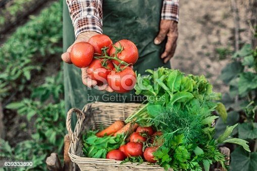 Old man with an apron showing a bunch of tomatoes. A basket full of fresh and raw vegetables in front of him. Field with plants on background.