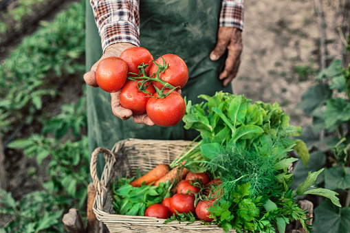 Old Farm Worker Showing A Bunch Of Tomatoes Stock Photo - Download Image Now