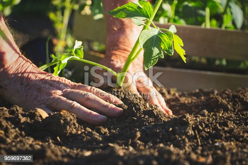 Gardening young plant into bed.