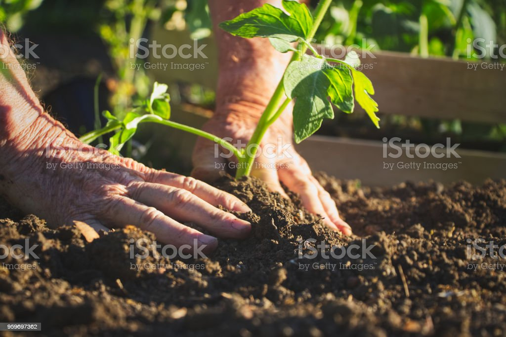 Old farmer planting tomatoes seedling in organic garden stock photo