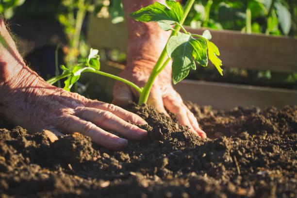 Old farmer planting tomatoes seedling in organic garden stock photo