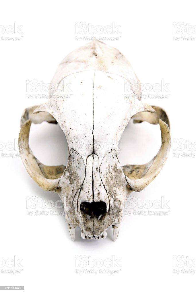 Old Feline Skull stock photo