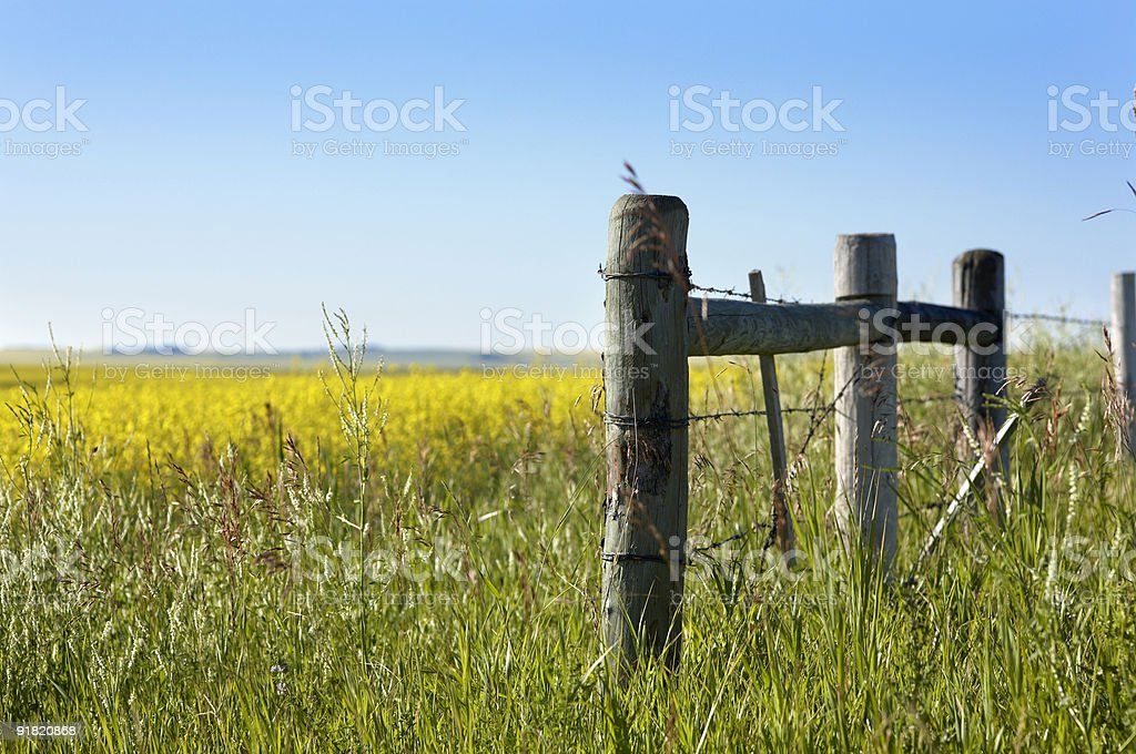 Old Fence Near a Canola Field royalty-free stock photo