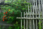 istock Old fence sections and fresh branch of ashberry 459971925