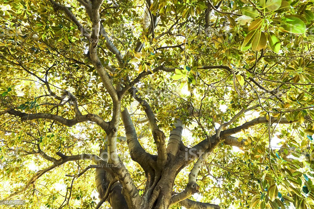 Old fig tree in sunshine, bautiful nature background, copy space stock photo