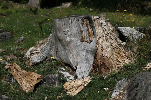 old fir root, vecchia radice di abete - gigifoto foto e immagini stock