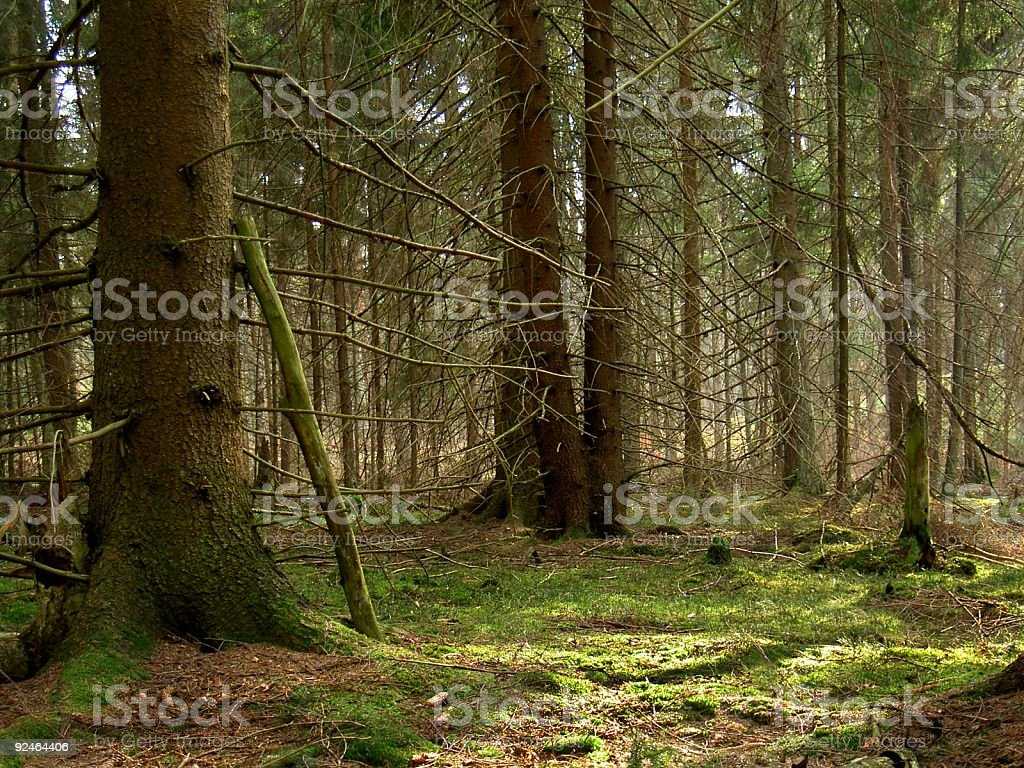 old forest 2 stock photo