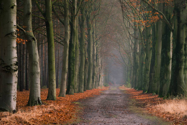Old forest dirt road lined with trees and fall leaves in Kapellenbos in Kapellen, located in the Belgian province of Antwerp. stock photo