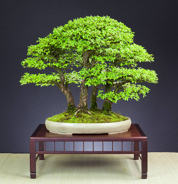 Old Forest of Elm Tree Bonsai – Foto