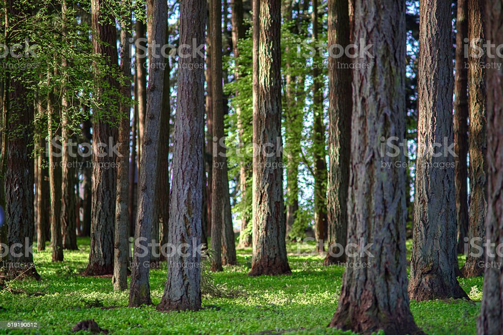 Old Forest stock photo
