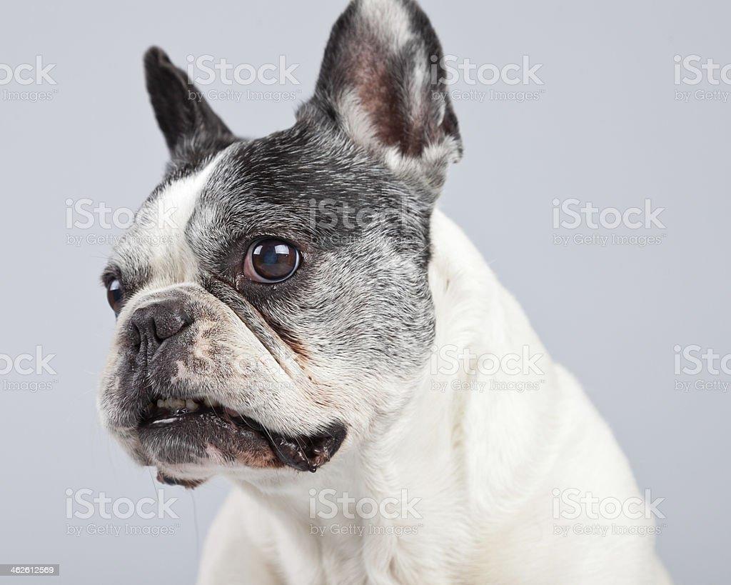 Vecchio Bulldog Francese Bianco E Nero Isolato Su Sfondo Grigio
