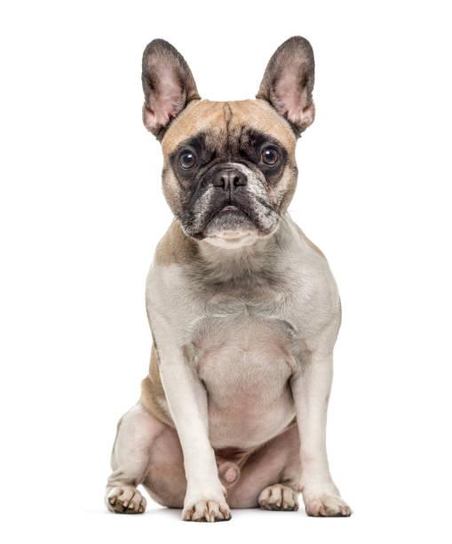 Old french bulldog sitting isolated on white picture id823759736?b=1&k=6&m=823759736&s=612x612&w=0&h=fpji2xkwkh5k8pcgacsyjsrcpppq12rboqgwdu6xway=