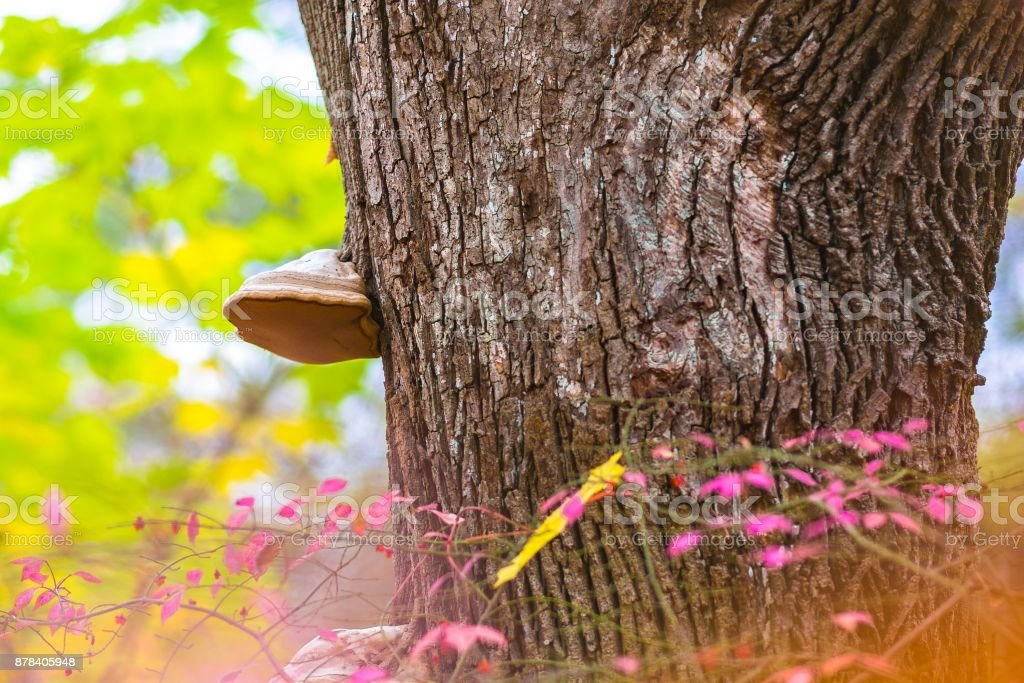 Old fungus on a sycamore tree with pink bush stock photo