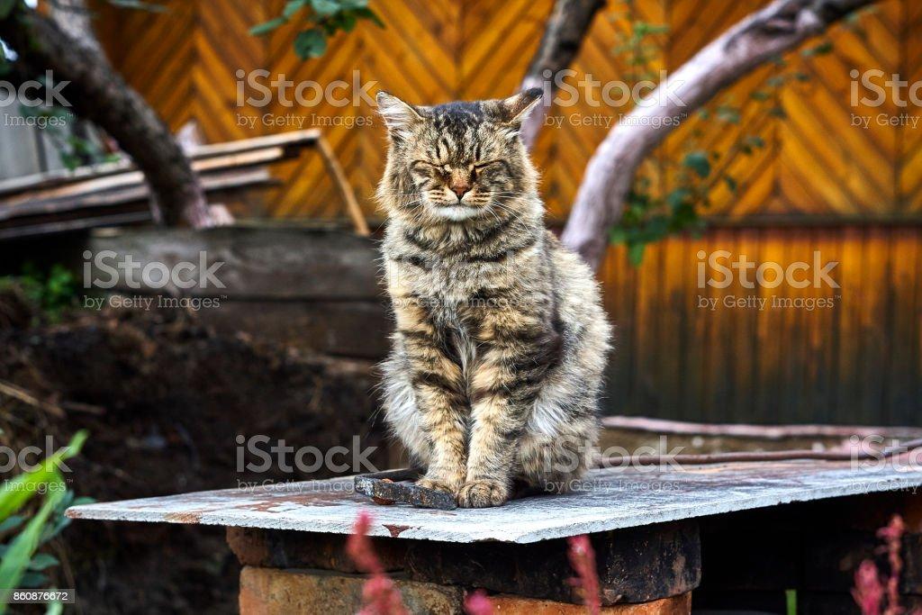 Viejo gato siberiano peludo con los ojos cerrados - foto de stock