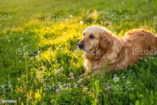 Old golden retriever dog picture id691290834?b=1&k=6&m=691290834&s=612x612&h=kfkaallnr4cp56s9jgcjx8qxvsiqnh2cnrbcbj7ftls=