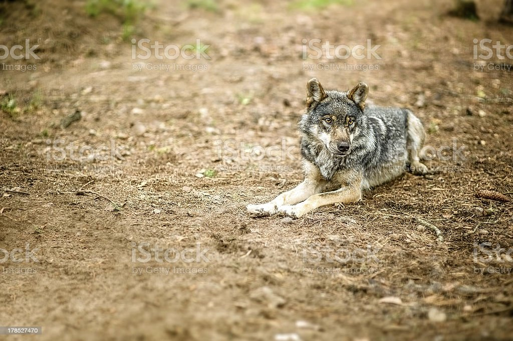 Old gray wolf royalty-free stock photo