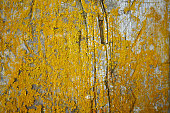 istock Old gray wooden texture background with yellow lichen 586379284