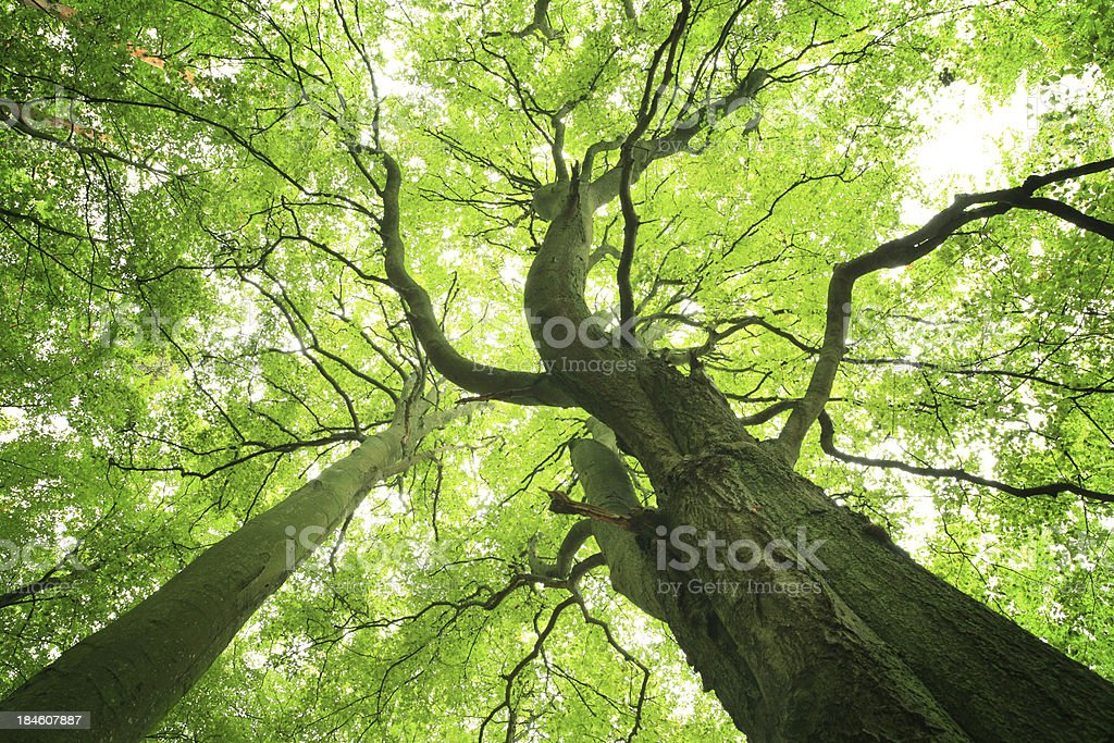 Old Green Tree - Looking up royalty-free stock photo