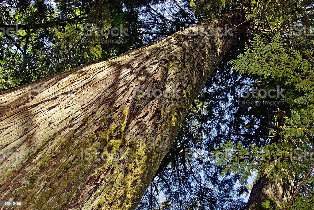 Old Growth Cedar royalty-free stock photo