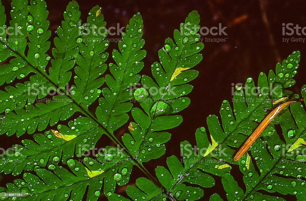 Old Growth Forest Fern stock photo