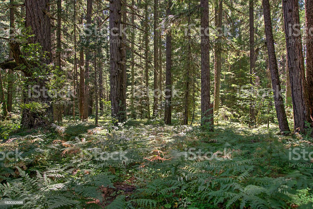 Old Growth Forest in Oregon stock photo