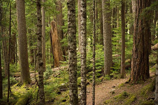 old growth forest - baumwipfelpfad stock-fotos und bilder