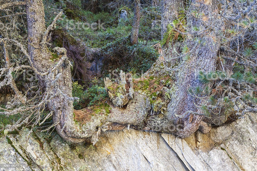 Old growth Pine tree royalty-free stock photo