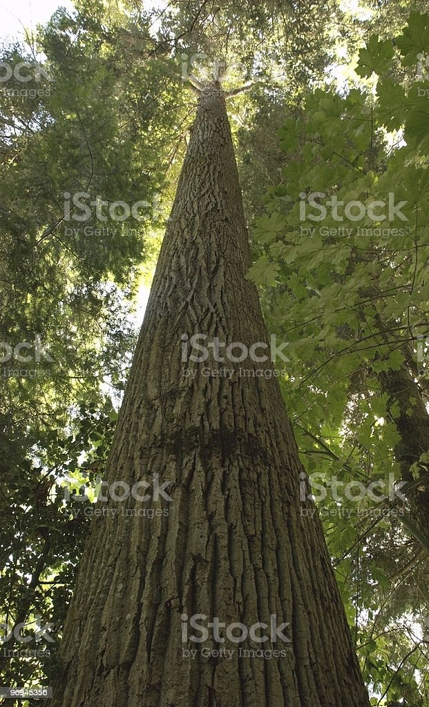 Old Growth Tree royalty-free stock photo