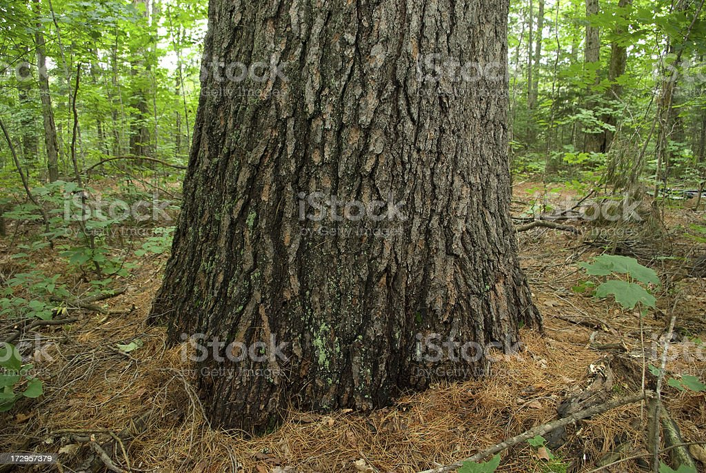 Old Growth Tree Trunk royalty-free stock photo