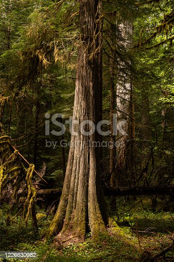 Western Red Cedars thrive in the moist environment of the McKenzie River