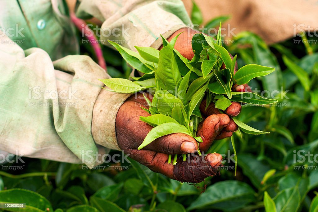 Old hand holding tea leaf stock photo