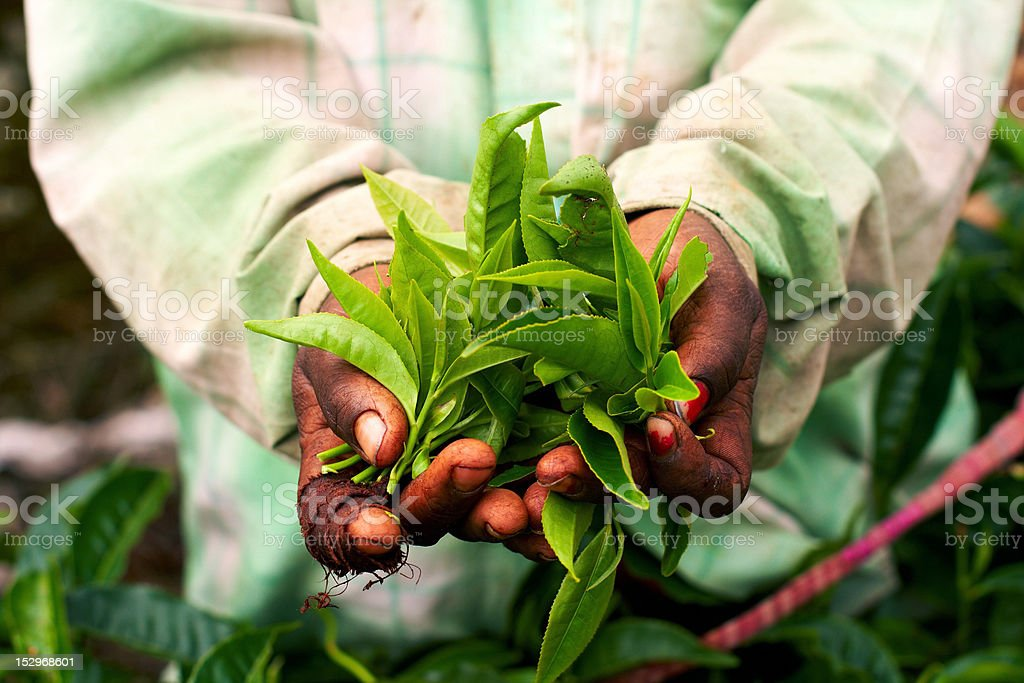 Old hand holding tea leaf stock photo