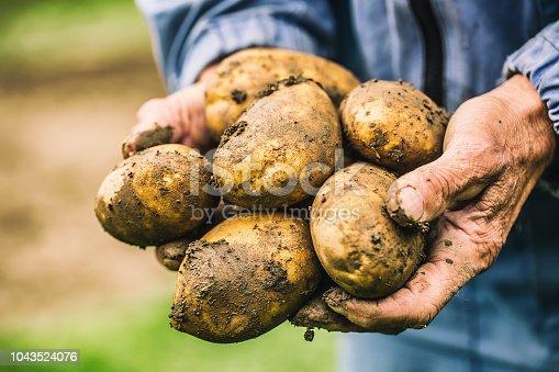 istock Old hand of farmer holding fresh organic potatoes. 1043524076