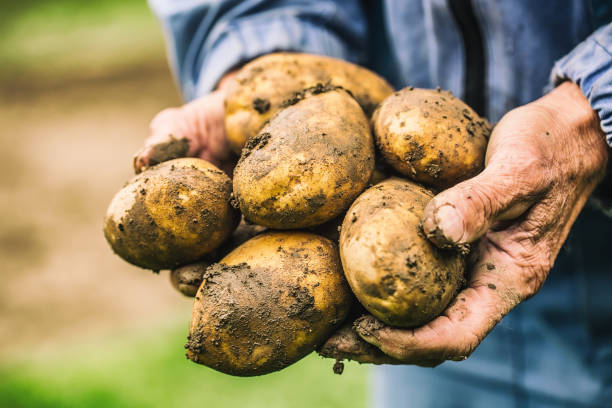 old hand of farmer holding fresh organic potatoes. - batata crua imagens e fotografias de stock