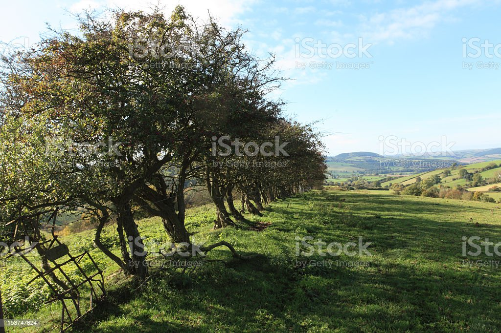 Old Hawthorn hedge royalty-free stock photo